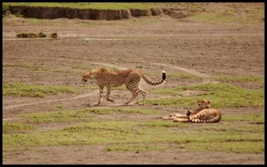 Cheetahs_Ndutu_2