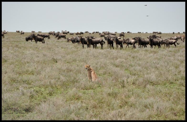 Cheetahs_Ndutu_3