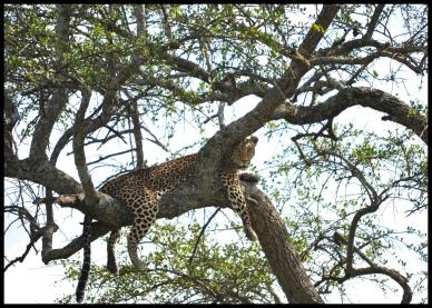 Leopard_Serengeti_4