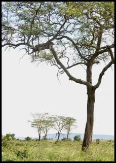Leopard_Serengeti_5