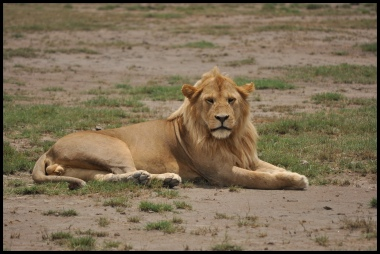 Lion_blond_male_Ndutu