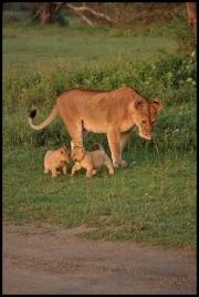 Lion_cubs_Ndutu_1