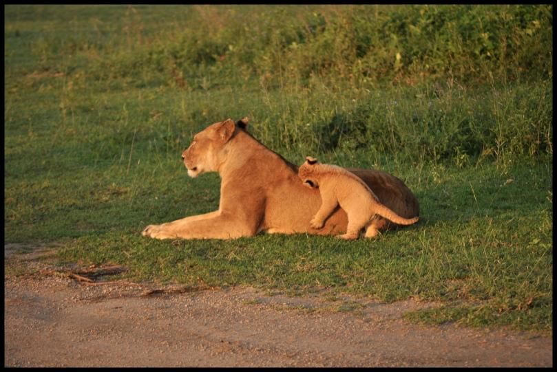 Lion_cubs_Ndutu_3
