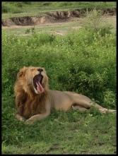 Lion_lazy_Ndutu_2