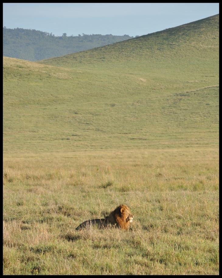 Lion_NG_2