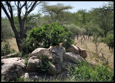Lion_Serengeti
