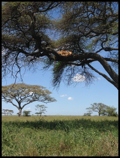 Lion_tree_Serengeti