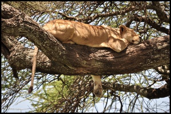 Lion_tree_Serengeti_2