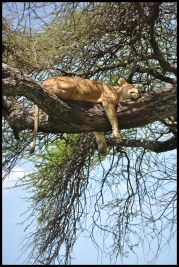 Lion_tree_Serengeti_3