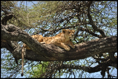 Lion_tree_Serengeti_4