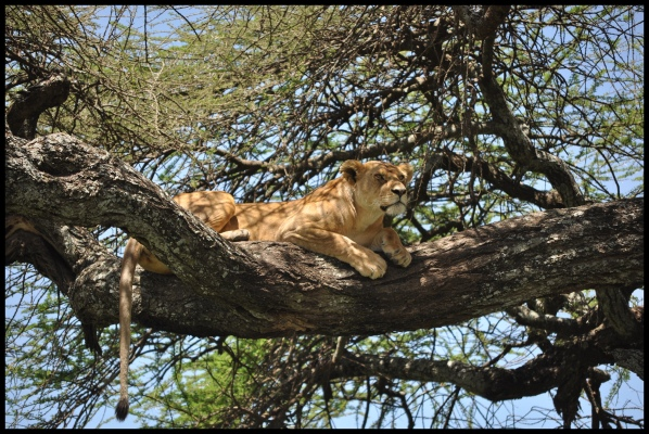 Lion_tree_Serengeti_4