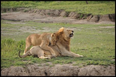 Lions_pair_Ndutu_2