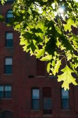 Augusta_leaves